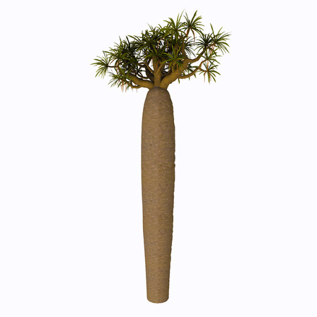 arboreal: Large Bottle Tree - Pachypodium is a genus of African succulent arboreal plants that comprises 23 species, 18 native of Madagascar and 5 native of the continent. Stock Photo
