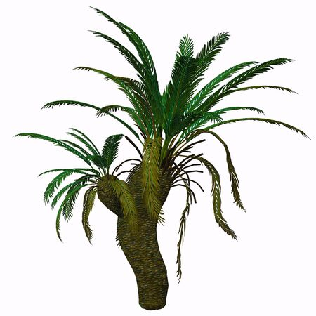 subtropical: Cycad Seed Plant - Cycads are seed plants with a long fossil history that were formerly more abundant and more diverse than they are today. The living cycads are found across much of the subtropical and tropical parts of the world
