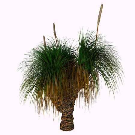 Xanthorrhoea australis Tree - Xanthorrhoea australis, the Grass-tree or Black Boy is an Australian plant. It is the most commonly seen species of the genus Xanthorrhoea.