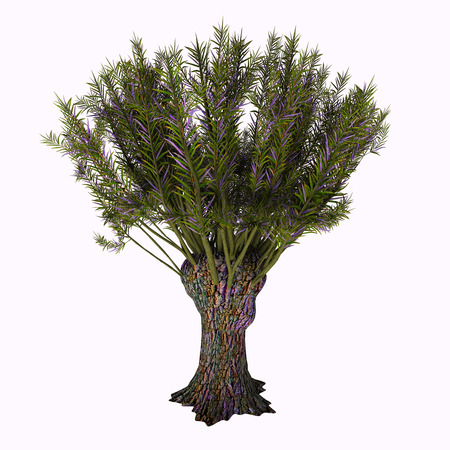 shrub: Salix viminalis Tree - Salix viminalis is a multi-stemmed shrub growing to between 3 and 6 m (9.8 and 19.7 ft) (rarely to 10 m (33 ft)) tall. It has long, erect, straight branches with greenish-grey bark. Stock Photo