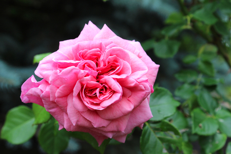 rosaceae: Pink Rose - A rose is a woody perennial flowering plant of the genus Rosa, in the family Rosaceae, or the flower it bears. There are over a hundred species and thousands of cultivars.