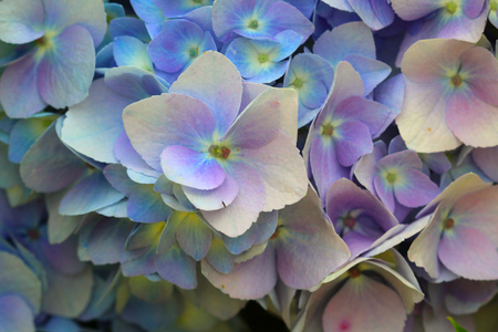 hydrangea flower: Hydrangea Flower - Hydrangeas are extremely vigorous, long-lived shrubs that offer varied and extravagant blooms throughout summer and into fall, when many shrubs have completed their show.