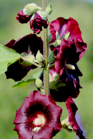ornamental plant: Red Hollyhock Flowers - Alcea rosea (common hollyhock) is an ornamental plant in the Malvaceae family.