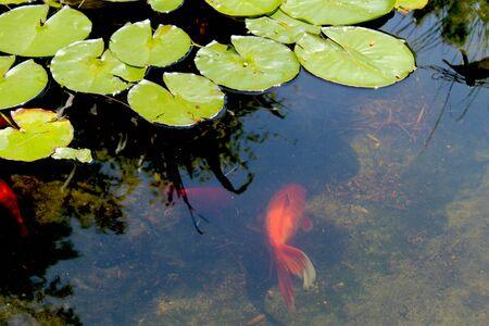 koi fish pond: Goldfish Pond - Goldfish Koi swim among green flat Lilly Pads in an ornamental garden pond.