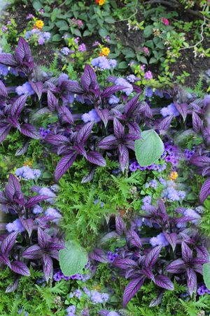 genera: Persian Shield Coleus - The term coleus is often used as a common name for species formerly placed in the genus Coleus that are cultivated as ornamental plants, particularly Coleus blumei (Plectranthus scutellarioides), which is popular as a garden plan Stock Photo