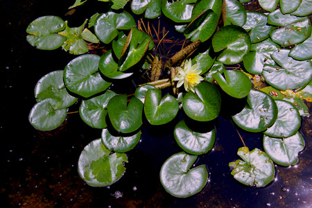nymphaeaceae: Water Lily Flower - Members of this family are commonly called water lilies and live as rhizomatous aquatic herbs in temperate and tropical climates around the world. The family contains five genera with about 70 known species. Water lilies are rooted in