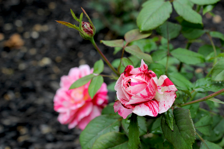 rosaceae: Red White Roses - A rose is a woody perennial flowering plant of the genus Rosa, in the family Rosaceae, or the flower it bears. There are over a hundred species and thousands of cultivars.