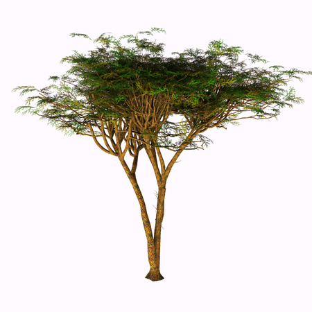 solitary: Umbrella Acacia Tree - The Umbrella Acacia Tree is found in the Sahel of Africa, the Sudan and the Middle East.