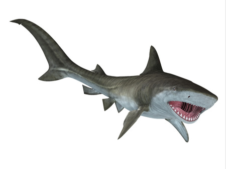 jaws: Tiger Shark Jaws - The Tiger Shark is a large predatory fish and is found in tropical and temperate ocean waters.