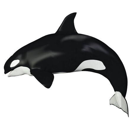 cetacean: Orca Female Whale - The Killer Whale also known as Orca is one of the largest predators of the oceans and is very intelligent. Stock Photo