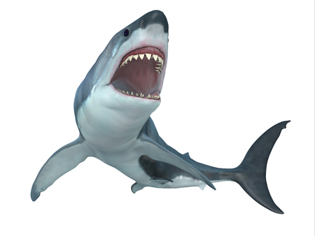 temperate: Great White Shark From Below - The Great White Shark is the largest predatory shark in the ocean and can grow to 26 feet and can live for 70 years. Stock Photo