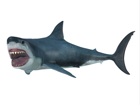 largest: Great White Shark Left Turn - The Great White Shark is the largest predatory shark in the ocean and can grow to 26 feet and can live for 70 years. Stock Photo