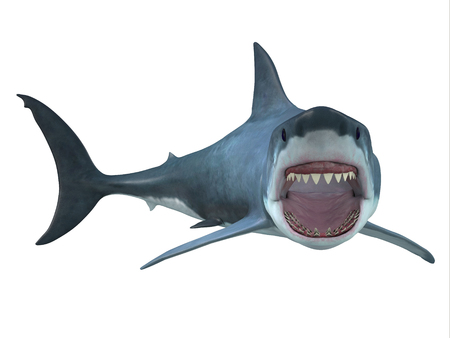 temperate: Great White Shark Right Turn - The Great White Shark is the largest predatory shark in the ocean and can grow to 26 feet and can live for 70 years.