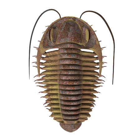 Trilobite ptychoparia - Trilobite ptychoparia animal lived in the Cambrian seas of Eurasia and North America.