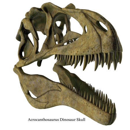 Acrocanthosaurus Dinosaur Skull with Font - Acrocanthosaurus was a carnivorous theropod dinosaur that lived in North America in the Cretaceous Period.
