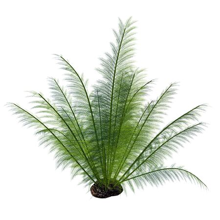 humid: Onychiopsis Seed Plant - Onychiopsis was a Cretaceous fern with fine feathery fronds and lived on forest edges, lake and river borders and humid plains. Stock Photo