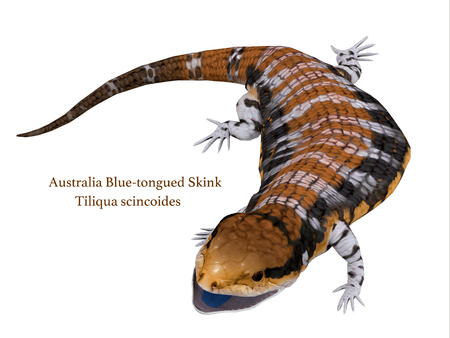 laying egg: Australia Blue-tongued Skink with Font - The Australia Blue-tongued Skink is a large terrestrial lizard that is active during the day and omnivorous. Stock Photo