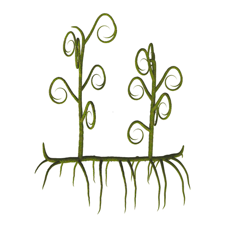 Asteroxylon sp Plants - Asteroxylon was one of the earliest lycopods and lived in the Devonian to Early Carboniferous Periods.