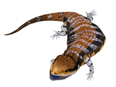 Australia Blue-tongued Skink - The Australia Blue-tongued Skink is a large terrestrial lizard that is active during the day and omnivorous.
