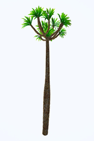 Pachypodium lamerei Tall Tree - Pachypodium is a genus of African arboreal plant that lives in dry and arid conditions on Madagascar and the mainland.