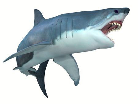 Dangerous Great White Shark - The Great White shark can live for 70 years and grow to be 21 feet long and live in coastal surface waters. Stock Photo
