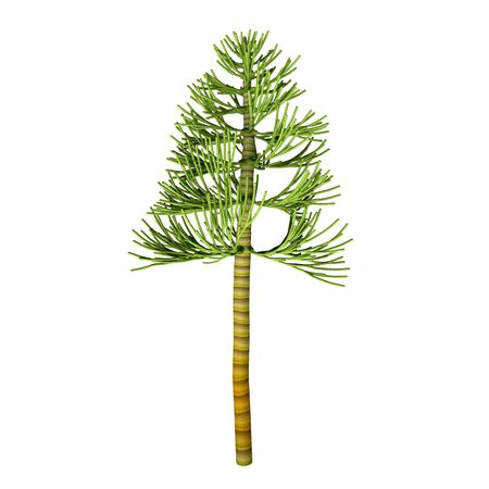 genus: Carboniferous Pine Tree - The earliest conifers date to the Carboniferous Period possibly arising from the Cordaites, a genus of seed-bearing Gondwanan plants with cone-like fertile structures. Stock Photo