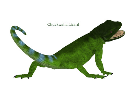 Chuckwalla Lizard Tail with Font - The Chuckwalla is a large lizard found primarily in arid regions of the southern United States and northern Mexico.