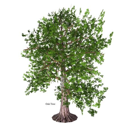 Oak Tree with Font - The Oak tree comes in 600 different species as a deciduous or evergreen variety and develops an acorn fruit nut.