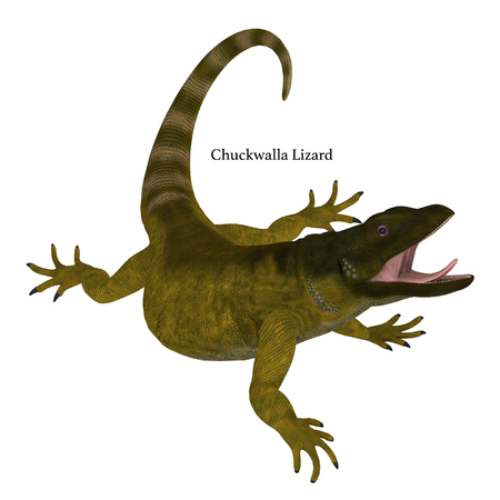 living organism: Chuckwalla Lizard on White with Font - The Chuckwalla is a large lizard found primarily in arid regions of the southern United States and northern Mexico. Stock Photo