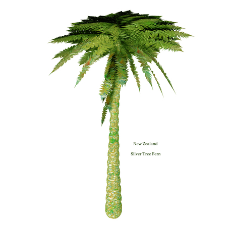 mostly: Silver Tree Fern with Font - The Silver Tree Fern is endemic to the main islands of New Zealand where it grows mostly in the subcanopy areas of drier forests and in open scrub.