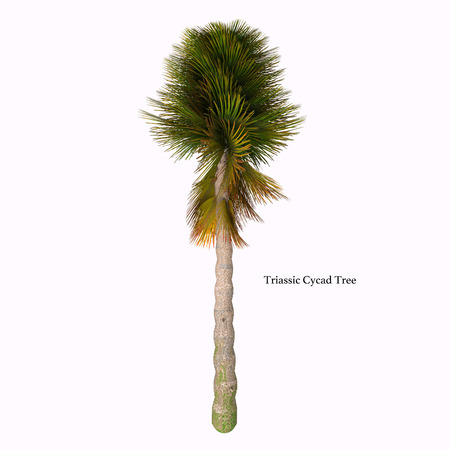 Triassic Cycad Tree with Font - Cycad are seed plants with a long fossil history that were more abundant and more diverse than they are today.