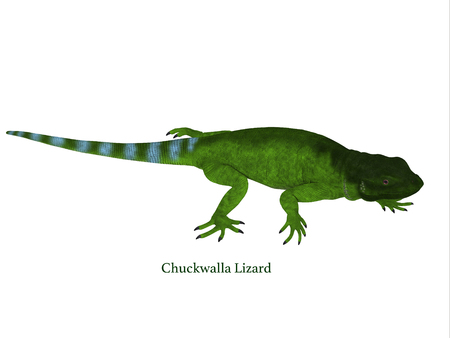 Chuckwalla Lizard Side Profile with Font - The Chuckwalla is a large lizard found primarily in arid regions of the southern United States and northern Mexico. Stock Photo