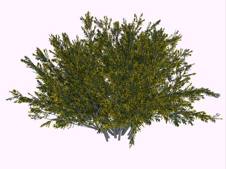 Creosote Bush - The creosote bush is a desert plant and survives the harsh climate with its ability to secure more water by inhibiting the growth of nearby plants. Reklamní fotografie