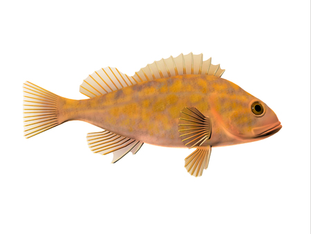 Canary Rockfish - Canary Rockfish spend most of the time among rocky crevices and boulders in the Pacific ocean and eat krill and small fishes. Stock Photo