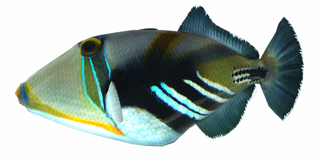 Humu Picasso Triggerfish - The Humu Picasso Fish is a saltwater species reef fish in tropical regions of Indo-Pacific oceans.