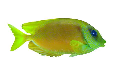 Lemonpeel Angelfish - The Lemonpeel Angelfish is a saltwater species reef fish in tropical regions of Indo-Pacific oceans.