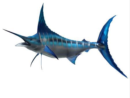 Marlin Sport Fish - The Blue Marlin is a favorite fish of sport fishermen and one of the predators of the Atlantic and Pacific oceans. Stock Photo