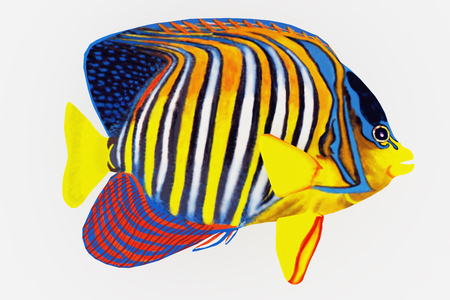 Royal Angelfish - The Royal Angelfish is a saltwater species reef fish in tropical regions of Indo-Pacific oceans.