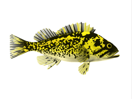 Black and Yellow Rockfish - Rockfish spend most of the time among rocky crevices and boulders in the Pacific ocean and eat crustaceans. Stock Photo
