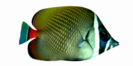 Redtail Butterflyfish - The Redtail Butterflyfish is a saltwater species reef fish in tropical regions of Indo-Pacific oceans.