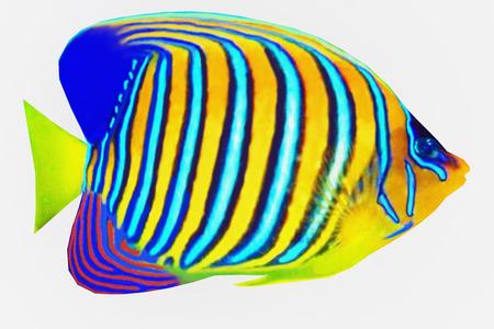 Regal Angelfish - The Regal Angelfish is a saltwater species reef fish in tropical regions of Indo-Pacific oceans.