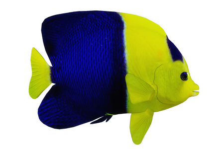 Bicolor Angelfish - The Bicolor Angelfish is a saltwater species reef fish in tropical regions of major oceans. Stock Photo