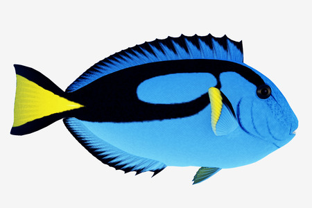 Blue Tang Fish - The Blue Tang Fish is a saltwater species reef fish in tropical regions of Indo-Pacific oceans and eat plankton and algae.