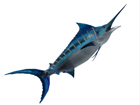 Predator Marlin Fish - The Blue Marlin is a favorite fish of sport fishermen and one of the predators of the Atlantic and Pacific oceans. Stock Photo