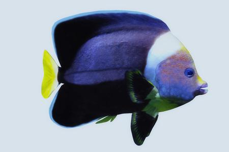 Black Velvet Angelfish - The Black Velvet Angelfish is a saltwater species reef fish in tropical regions of major oceans.