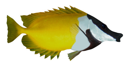 Foxface Rabbitfish - The Foxface Rabbitfish is a saltwater species reef fish in tropical regions of the Western Pacific ocean.