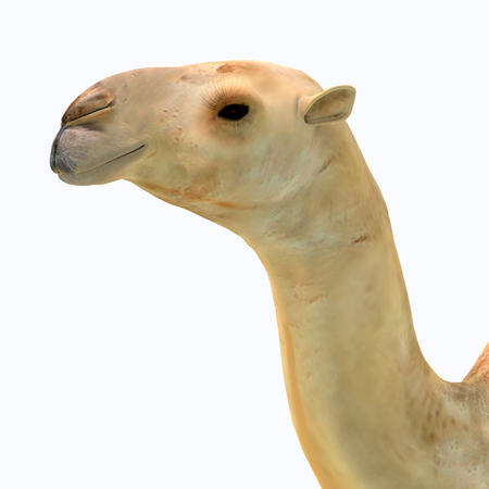 Camelops hesternus Head - Camelops was a camel-type herbivorous animal that lived in North America during the Pleistocene Period. Stock Photo