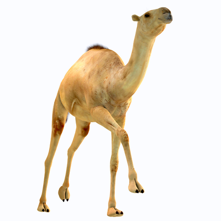 Camelops hesternus on White - Camelops was a camel-type herbivorous animal that lived in North America during the Pleistocene Period.