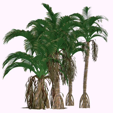 Verschaffeltia splendida Trees - 이것은 세이셸에있는 개화 야자 열매이고 Arecaceae 속의 일원이다. 스톡 콘텐츠