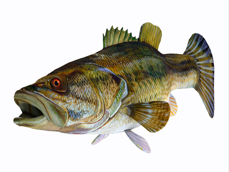 Redeye Bass Fish - The Redeye Bass is a popular freshwater gamefish which has a diet consisting mostly of insects.